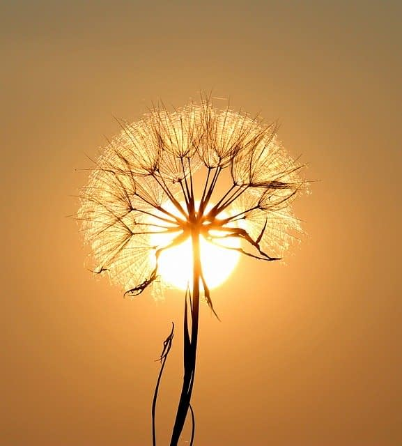 Dandelion Sun Plants Flower Dry  - AdinaVoicu / Pixabay